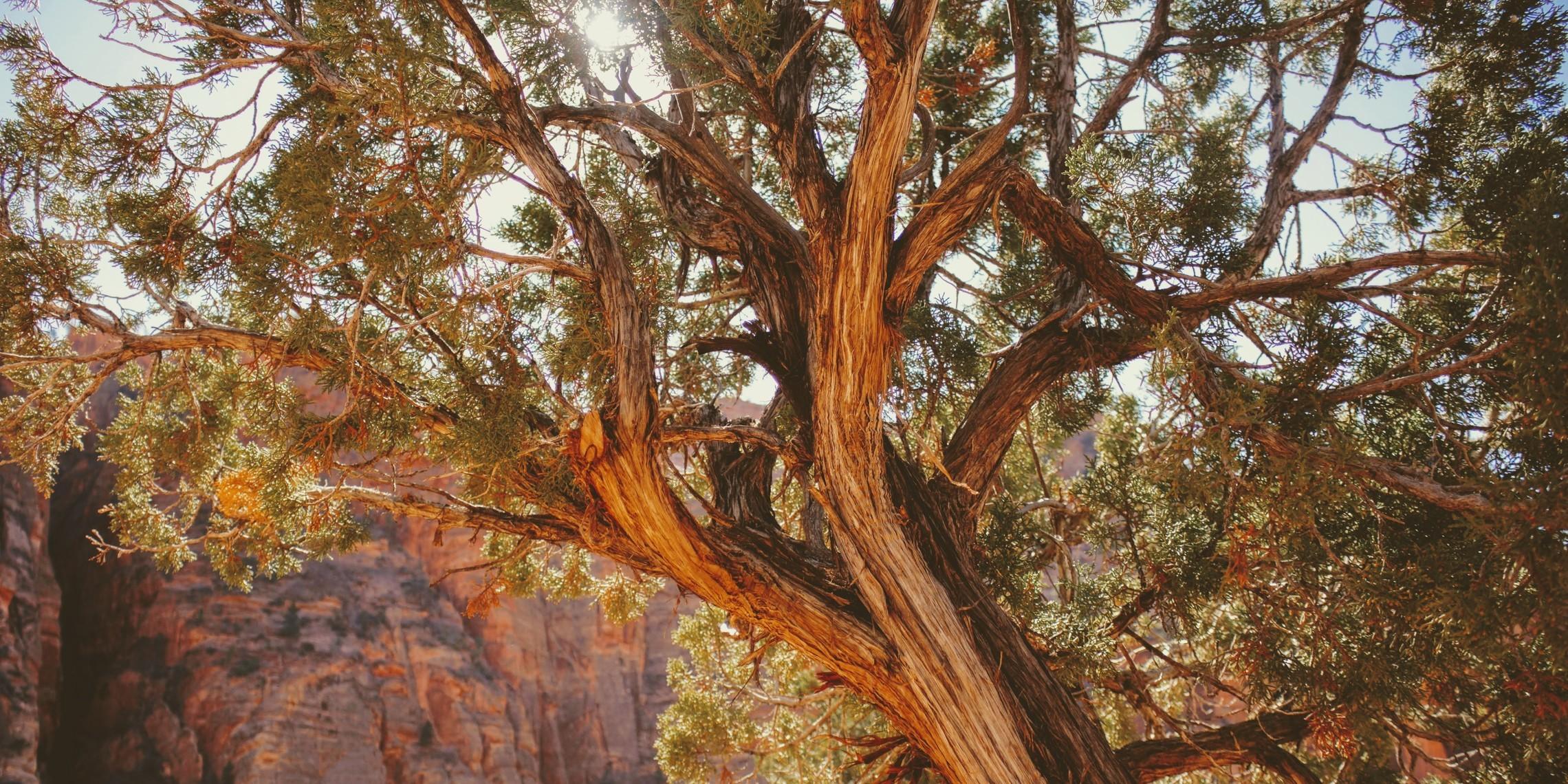 Ceder tree